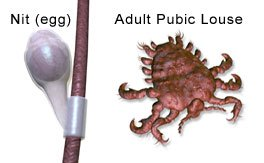 Pictures of a nit and an adult pubic louse