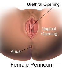 Picture of a female perineum