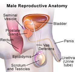 Picture of male reproductive system