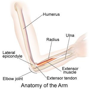Anatomy of the Arm
