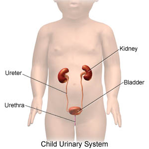 Child Urinary System