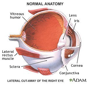 Lateral cut-away of the Right Eye