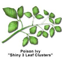 Picture of poison ivy leaf