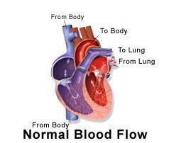 Picture of correct blood flow through the heart