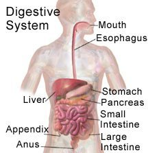 Picture of a normal digestive system