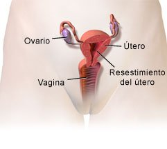 Picture of the anatomy of the reproductive system of a female