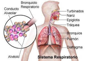 Picture of the normal respiratory system