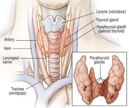 Mayo researchers decode molecular action of combination therapy for deadly thyroid cancer