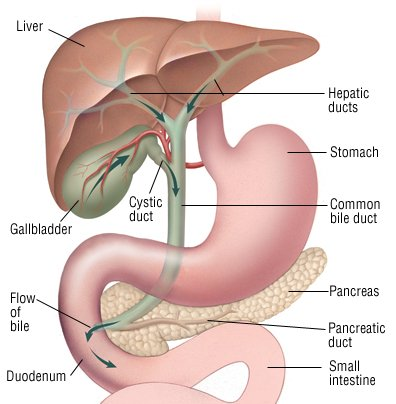 chronic pancreatitis guide: causes, symptoms and treatment options, Human Body
